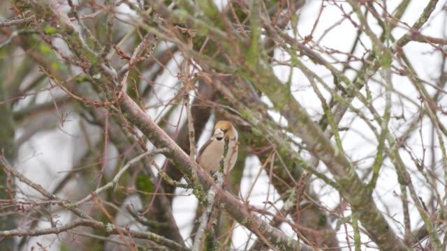 Brambling on tree in winter