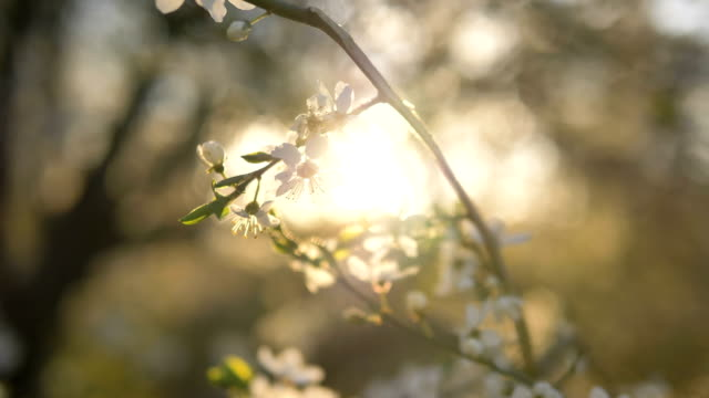 branch blooming white apple tree at sunset sways in the wind - albicocca video stock e b–roll