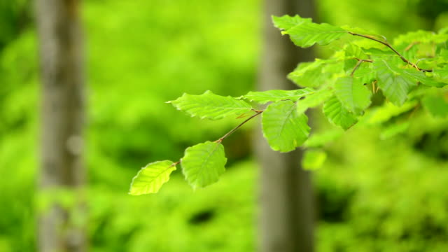Branch green young leaves Beech moving. video