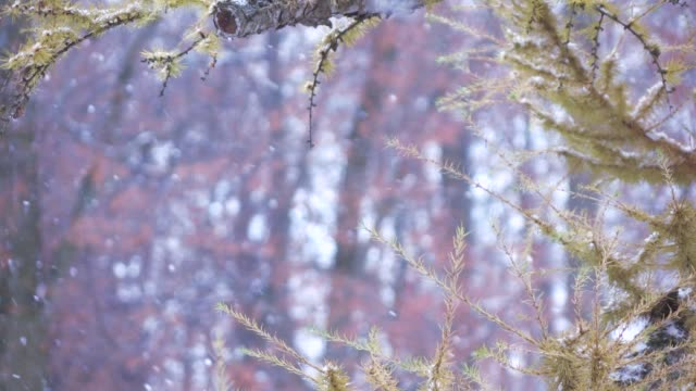Branch of a coniferous tree in winter video