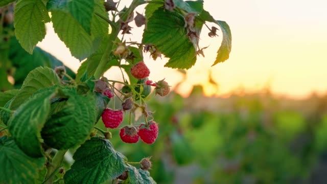 vídeos y material grabado en eventos de stock de una rama de un arbusto frambuesa sobre un fondo de puesta de sol. alimentos orgánicos - antioxidante