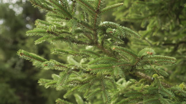 a branch of a young spruce with green needles in the coniferous forest on a sunny day - abete video stock e b–roll