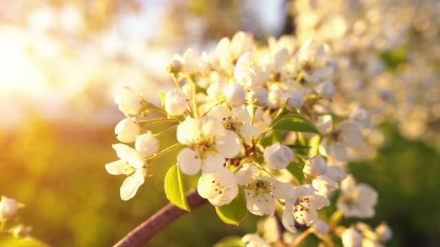 en gren av blommande äppel träd på ljus vårvind vid solnedgången. - äppelblom bildbanksvideor och videomaterial från bakom kulisserna