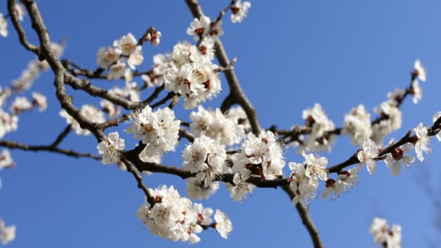 branch of blooming apricot on a background of blue sky - albicocco video stock e b–roll