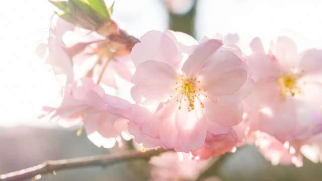 Branch of blooming cherry tree in spring video
