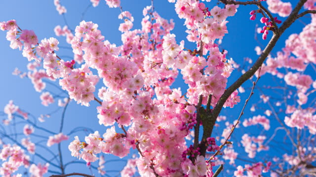 Branch of cherry blossom flowers in bloom in spring on a clear sky background