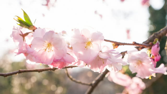 Branch of cherry blossom flowers in bloom in spring video