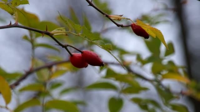 犬ローズ (ロサ ・ カニナ) 風にひらひらの枝 - イヌバラ点の映像素材/bロール