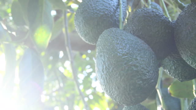 Branch of natural hass avocados in a avocado tree in a plantation a sunny day