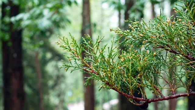 Branch of pine tree in forest wetting from raining on blurred background.