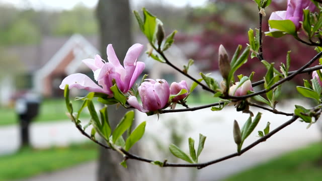 stockvideo's en b-roll-footage met een tak van de roze bloem magnolia, selectieve aandacht. - s