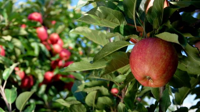 vídeos de stock e filmes b-roll de branch of ripe apples in the garden - picking fruit