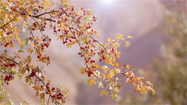 Branch of ripe hawthorn at sunny autumn day video