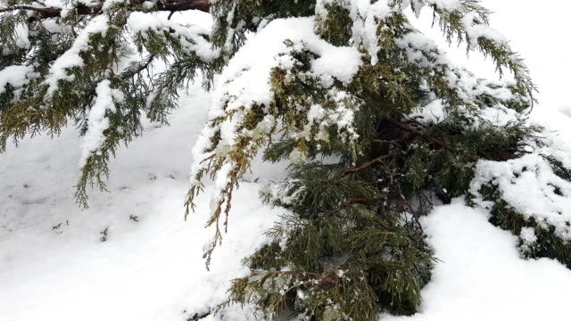 Branch thuja cypress tree covered with snow during blizzard video