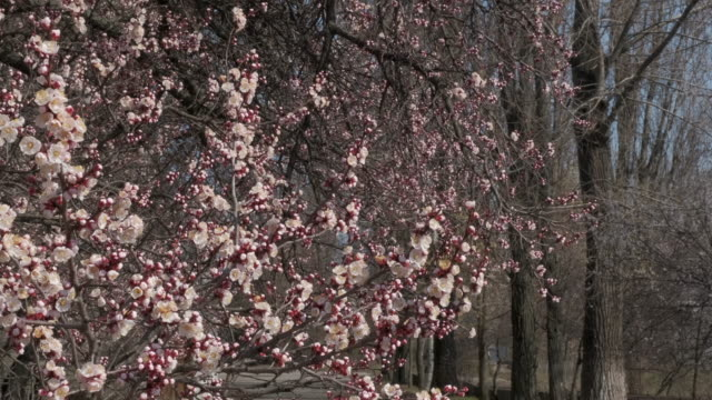 branch with beautiful white spring apricot flowers on tree. nature scene with flowering apricot on blossom background - albicocco video stock e b–roll
