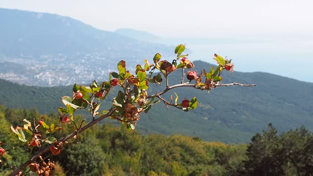 Branch with fruits of the wild rose grows high in the mountains