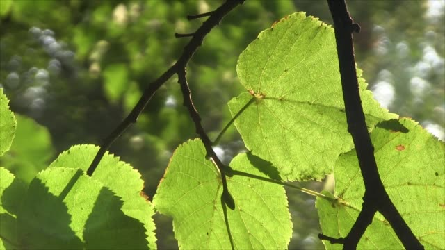 Branch with linden leaf in the rays of the sun Branch with linden leaf swaying in the rays of the sun leaf vein stock videos & royalty-free footage