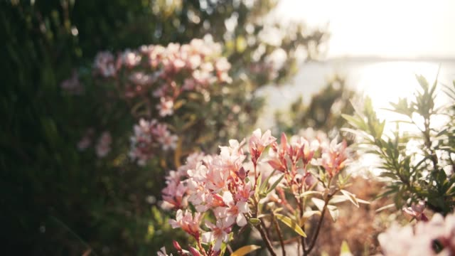 A branch with pink oleander flowers sways in the wind at blue sea at sunset.