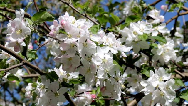 branch with white flowers of apple. - pistillo video stock e b–roll