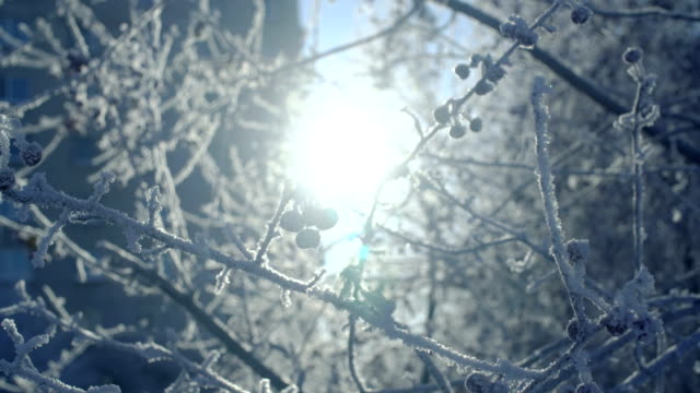 Branches and berries covered with hoarfrost. video
