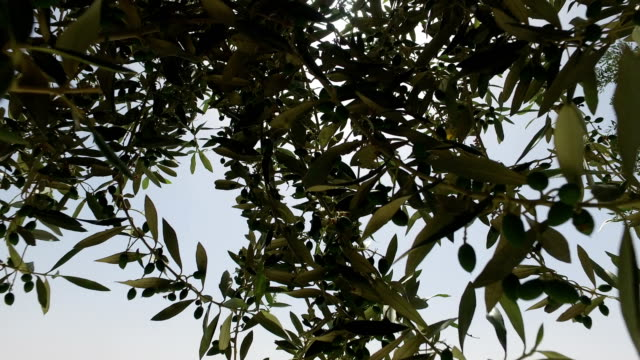 Branches Extending From Olive Tree video