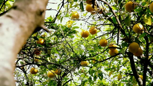 vidéos et rushes de branches de l'arbre de pamplemousse. vue du sol - pamplemousse