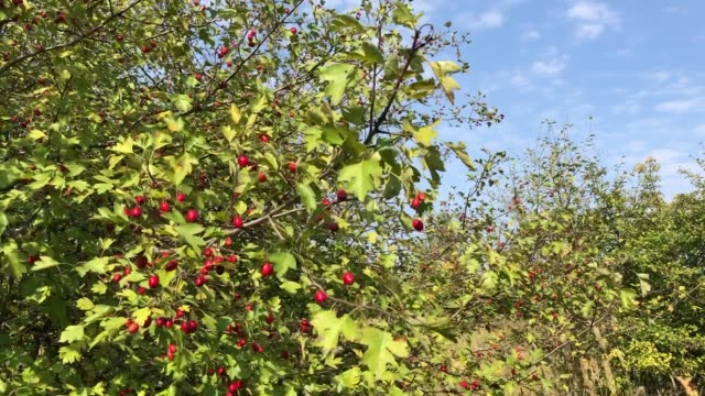 Branches of a hawthorn bush with ripe berries swing in the wind on a sunny autumn day in the forest