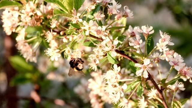 白色櫻花枝。大黃蜂在花上。美麗的大自然春天背景的概念。園藝、 欣賞花的季節 - 亞洲中部 個影片檔及 b 捲影像