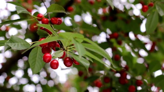 branches of cherry in garden