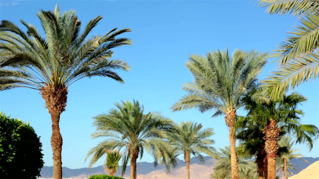 Branches of palm trees against the sky. Branches of palm trees against the sky in the morning after sunrise. Egypt. desert oasis stock videos & royalty-free footage