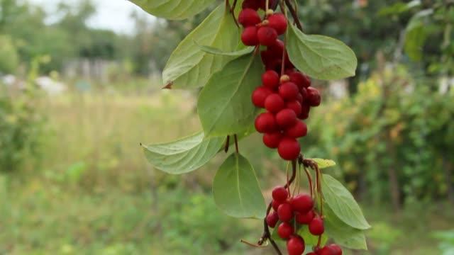 Branches of red schisandra. Bunches of ripe schizandra