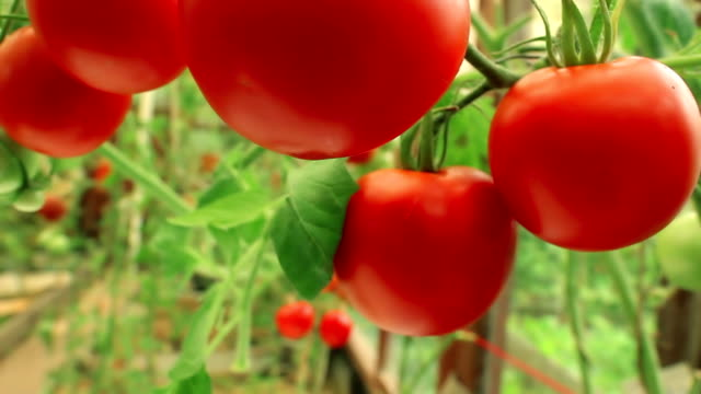 Branches of ripe tomatoes video