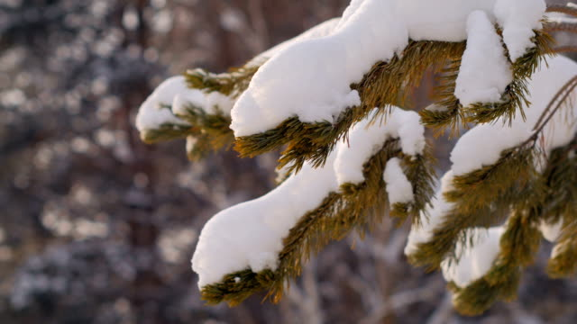 branches of spruce with snow close up shooting in winter forest, soft light in daytime video
