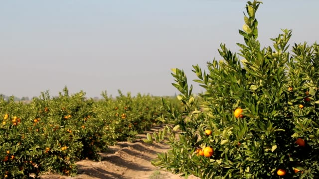 Branches with citrus fruits, Mandarin orange trees Citrus plantation with ripe oranges citrus fruit videos stock videos & royalty-free footage