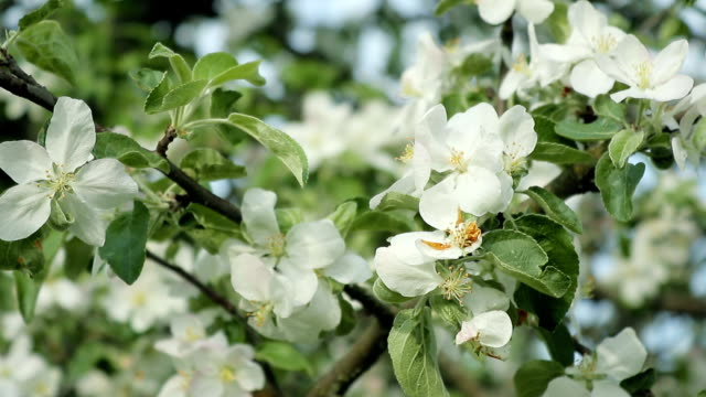 Branches with flowers of Apple trees swaying in the wind video