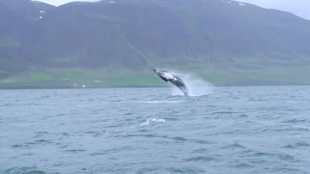 vidéos et rushes de violant la baleine à bosse près de dalvik en islande - baleine