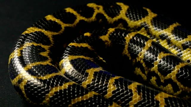 Breathing yellow anaconda video