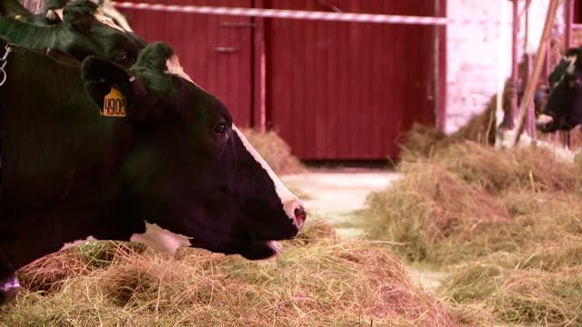 breeding cows and bulls on the farm