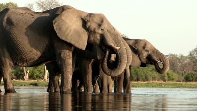 Breeding herd of elephants drinking at river,Botswana