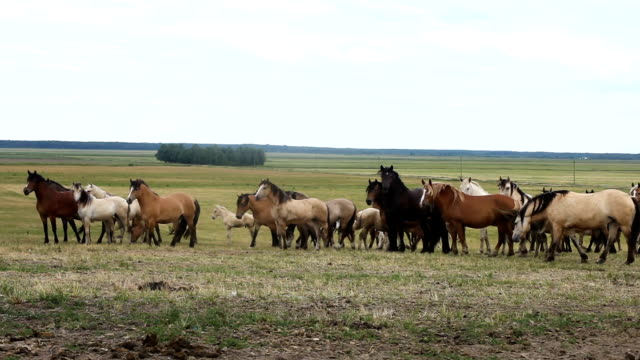 Breeding horses of the breed