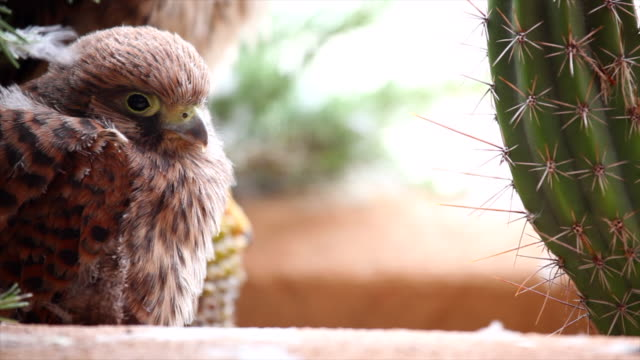 breeding of common kestrel Falco tinnunculus, sleeping on the balcony of the house where he was born in freedom offspring of raptors raised in freedom hawk bird stock videos & royalty-free footage