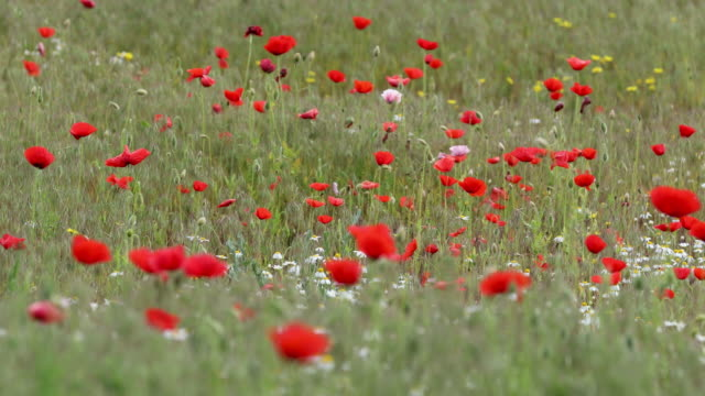 Breeze in bushes of wild poppies, close up. Motion video, selective focus. video