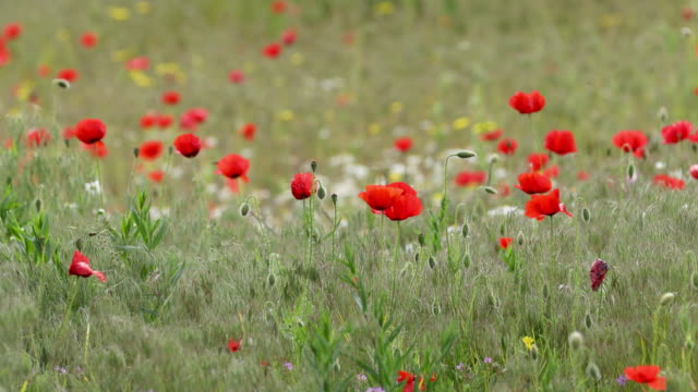 Breeze in bushes of wild poppies, close up. video