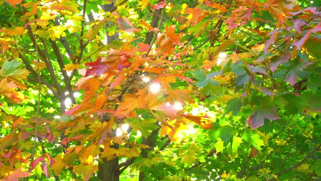 bright autumn maple leaves, swaying on tree with solar flares in autumn.