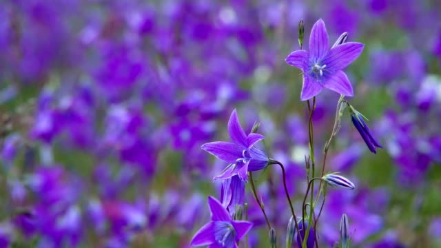Bright Bells on a Purple Glade