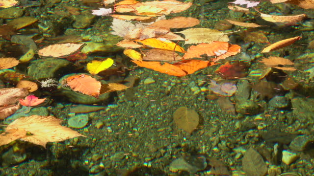 Bright colorful autumn leaves floating on the lazy forest river in sunny fall video