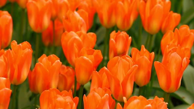 キューケンホフの鮮やかな花壇 - キューケンホフ公園点の映像素材/bロール