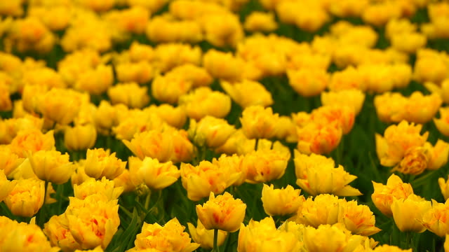 Bright flowerbed in Keukenhof Bright flowerbed in Keukenhof - famous Holland spring flower park tulip stock videos & royalty-free footage