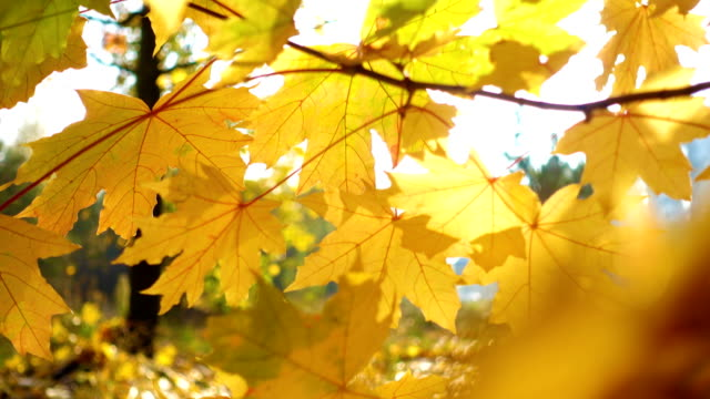 stockvideo's en b-roll-footage met heldere esdoorn bladeren op een herfst boom in het park - plantdeel