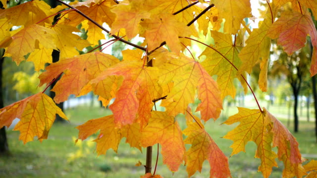 bright maple leaves on a autumn tree at the park bright maple leaves on a autumn tree at the park plant part stock videos & royalty-free footage